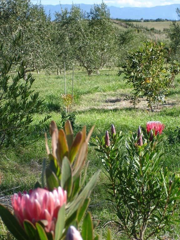 Olive-Grove (4)