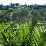 Olive-Grove (7)