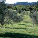 Olive-Grove (8)